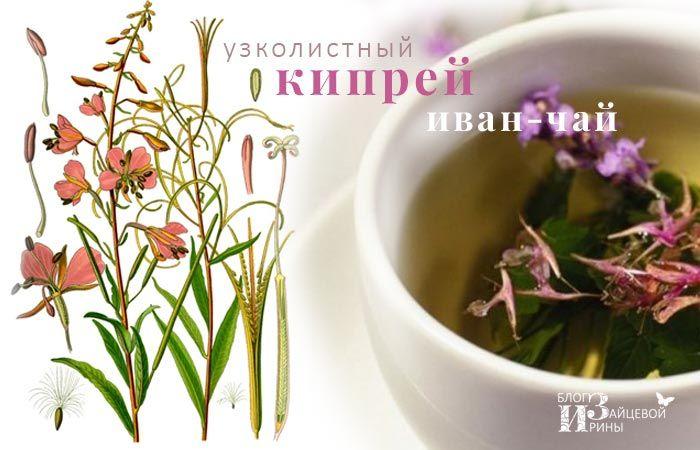 Иван – чай. Полезные свойства. Противопоказания. Как сушить. Фото