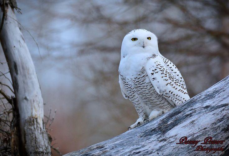 https://dannypowers.wordpress.com/oiseaux/harfang-des-neiges/