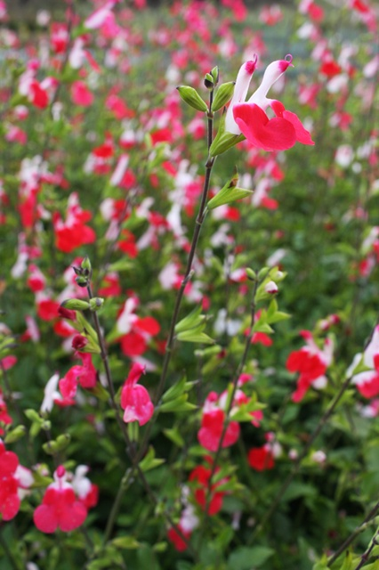 salvia hot lips hummingbirds love this plant in my. Black Bedroom Furniture Sets. Home Design Ideas