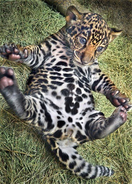 adorable baby leopard laying on its back