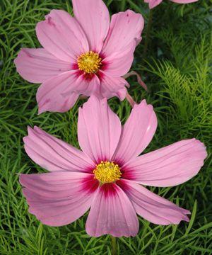 Punakosmos. Korkeus: 40–100 cm. Kukkii kesäkuulta pakkasiin saakka. Kasvupaikka aurinko-puolivarjo.