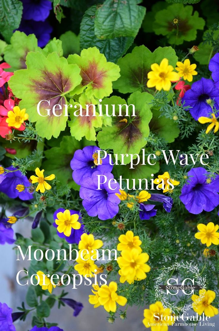 Petunia large flower seeds, potted flowers, rare the family garden ...