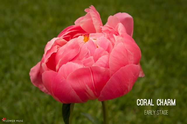 Coral Charm - from our blog post about Fading Peony Color