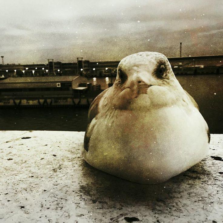 Seagull sitting on deck this morning #tallinn #sea #balticqueen @tallinksuomi @tallink_ee #sitting