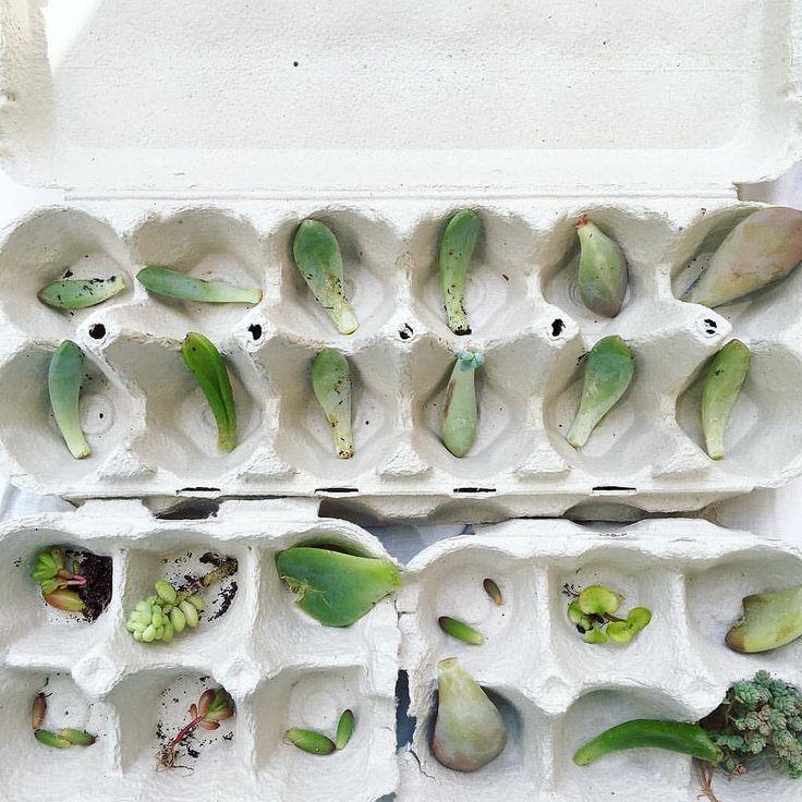 Fui ali roubar uns filhotes às minhas suculentas para os reproduzir. #flora#nature#garden#suculents#succulentlover#liveoutdoors #liveauthentic#livefolk#plantsofinstagram