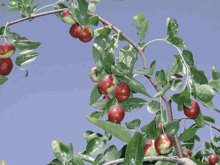 Jujube trees - for healthy eating