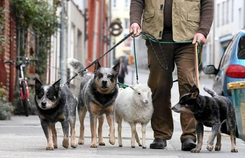 From a Finnish newspaper: Wolfgang Grensens from Germany on a walk with his dogs and Wally-sheep. Wally lost his mother and one of the dogs adopted Wally. x