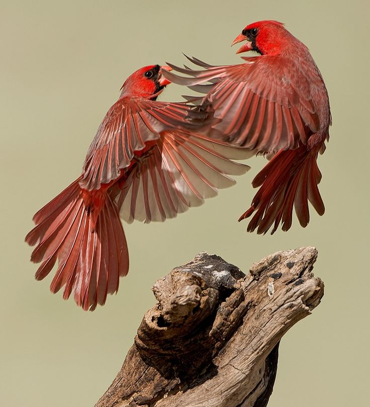 """""""Cardinal Fight"""" by grassy   Colorful Birds #Photography Contest Winners - ViewBug.com"""