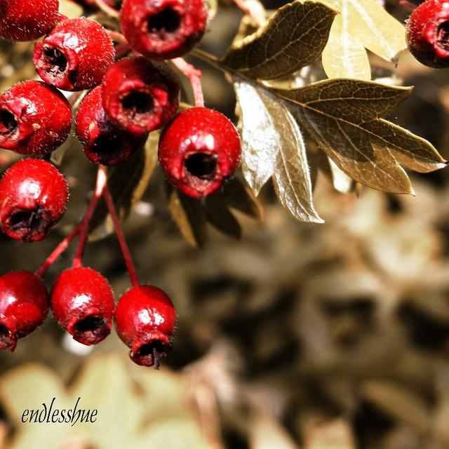 Haw Berries 2 ~ endlesshue