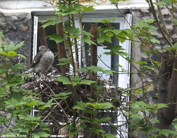 Photographie de Jérémie Rone : Épervier d'Europe (Accipiter nisus) femelle couvant ses œufs à Montmartre (Paris) en avril 2012 : l'élagage a été fait durant l'hiver, et ce rapace a pu nicher tout de même. #ornithologie   #oiseaux   #nature   #oeufs   #nids