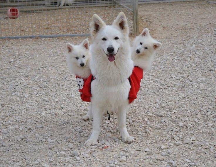 White Swiss Shepherd … I want them!
