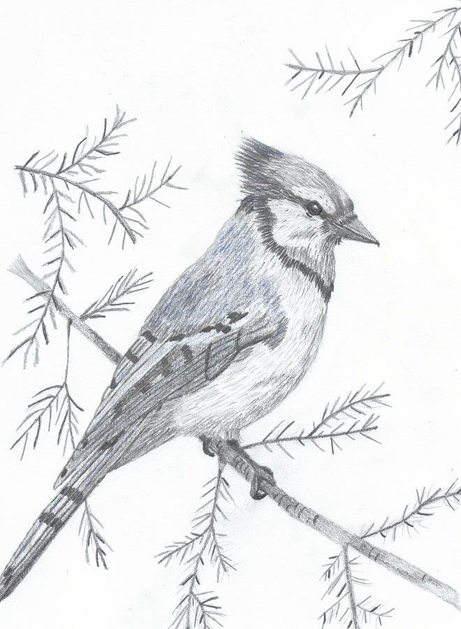Blue Jay By Debijeen Pencils Bird Drawings Bird Pencil Drawing Pencil Art Drawings