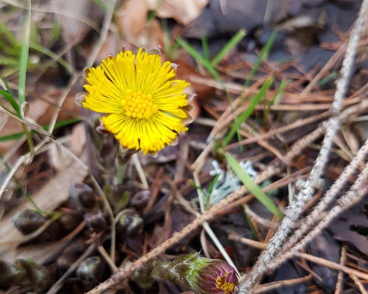 Huflattich eine uralte Heilpflanze