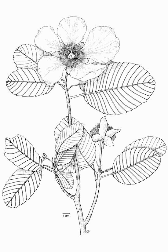 Botanical Flower Line Drawing : Botanical drawings sketches sketch coloring page