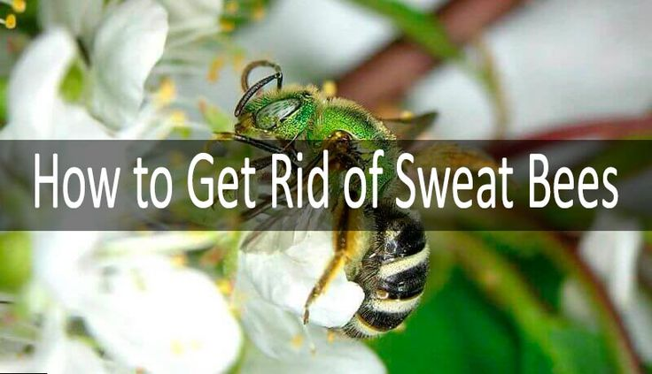 nice How to Get Rid of Sweat Bees - Be Friendly but Persistent  (2017)