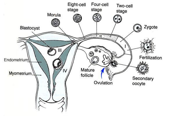 If i get my period on clomid did i ovulate