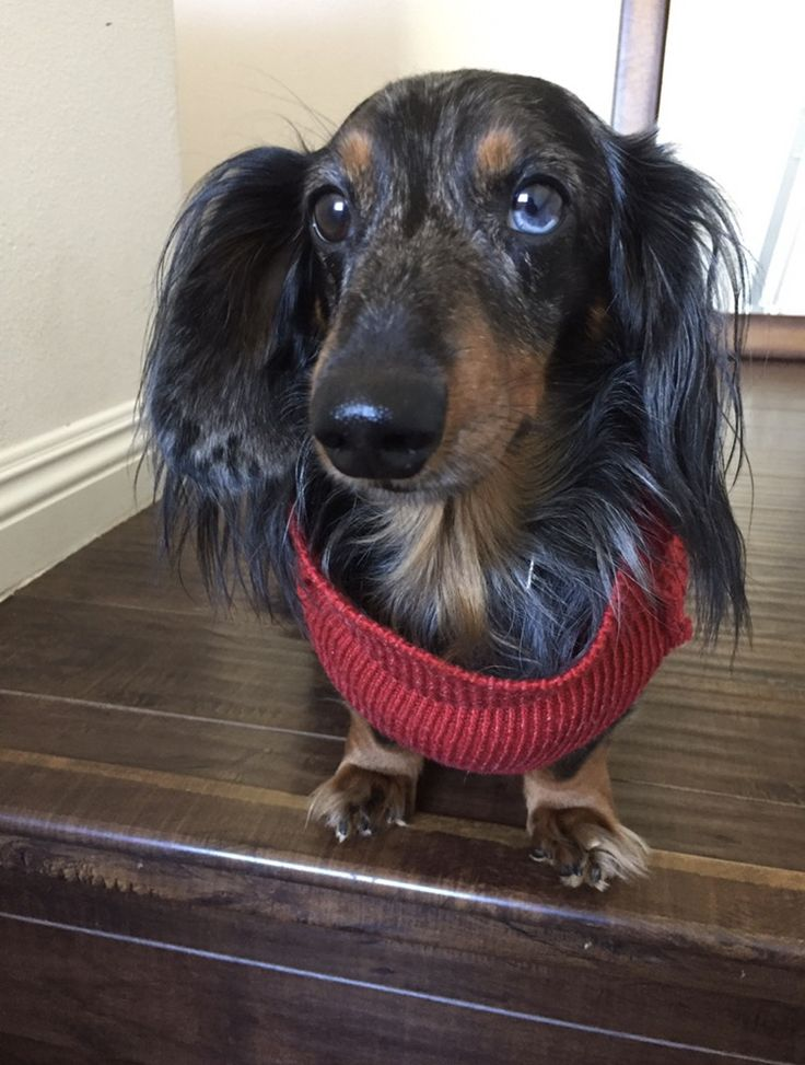 This list of the most adorable, cutest dachshund photos includes photos of adult dachshunds as well as puppy dachshunds. Dachshunds, or Wiener Dogs are a specifically sought after breed for their awkward physical appearance and lap dog temperament. These are the most adorable dachshund photos ever by our member, vote up the dachshund photos