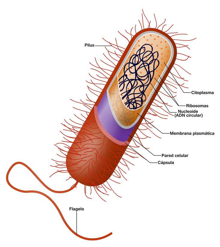 La estructura celular procariota básica tiene los siguientes componentes:6  Membrana plasmática Pared celular (excepto en micoplasmas y termoplasmatos) Citoplasma Nucleoide Ribosomas