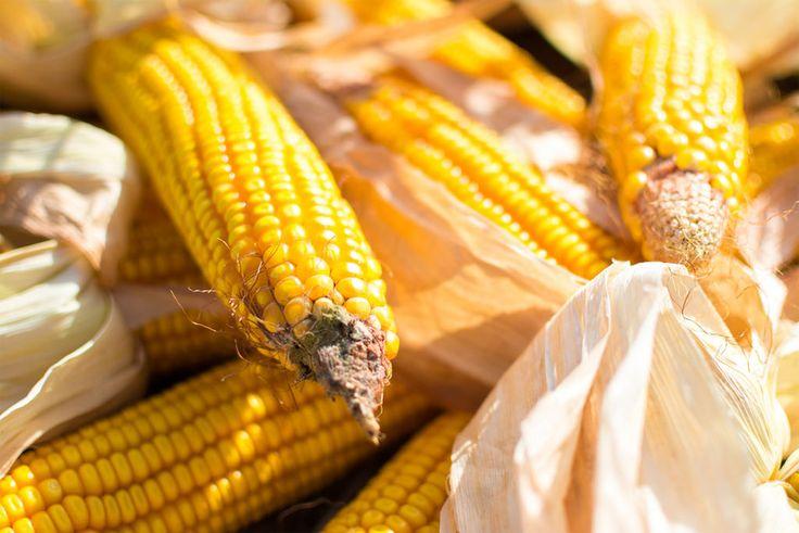 ¿El maíz transgénico no es sustancialmente equivalente al maíz tradicional? | Gastronomía & Cía
