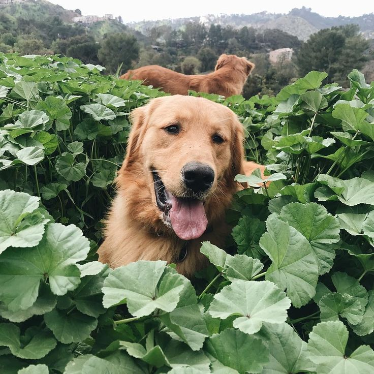 Repin Alcottgear Dogs Golden Retriever Cute Creatures Cute