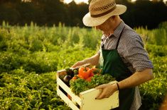 Farmer carrying full box of just gathered organic vegetable stock photo