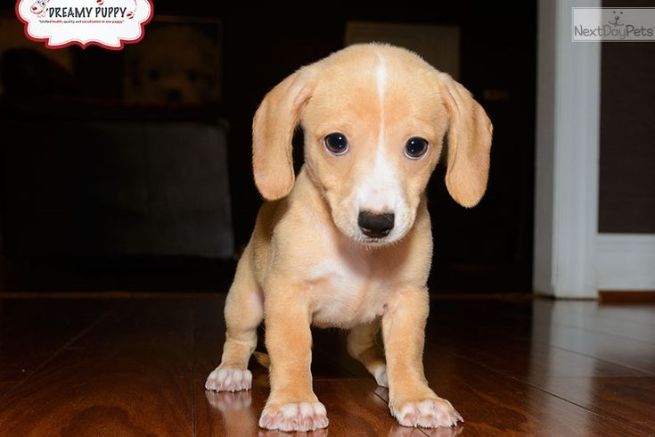 You'll love this Female Dachshund, Mini puppy looking for a new home.