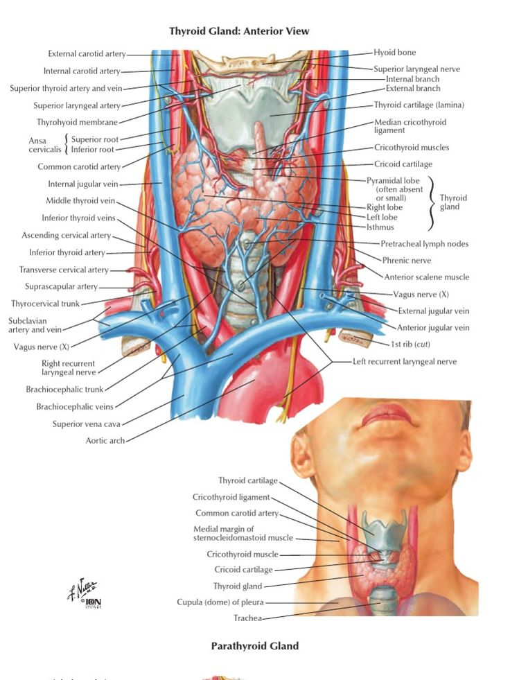 32 best Cuello images on Pinterest | Anatomy and physiology, Anatomy ...
