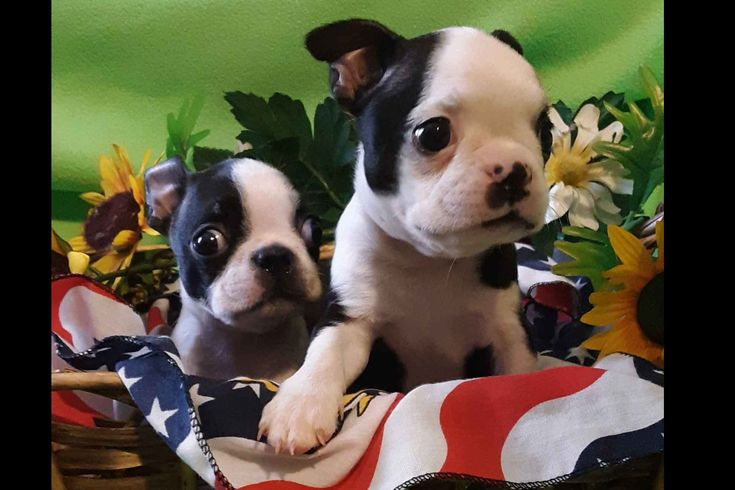 Baby Bostons Has Boston Terrier Puppies For Sale In Sacramento Ca