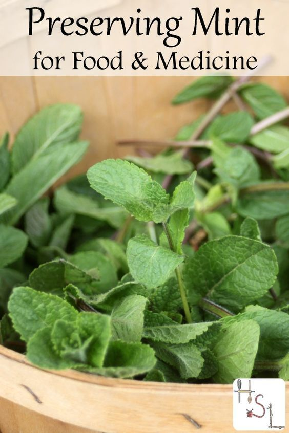 Tasty and healing make the most of prolific garden herbs by preserving mint for food and medicine to use throughout the year.