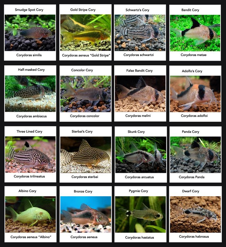 Plecos and loaches on pinterest plecostomus catfish and freshwater