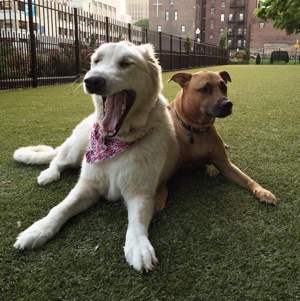 Sleepy time at Lucas Garden Dog Park - St. Louis, MO - Angus Off-Leash #dogs #puppies #cutedogs #dogparks #stlouis #missouri #angusoffleash