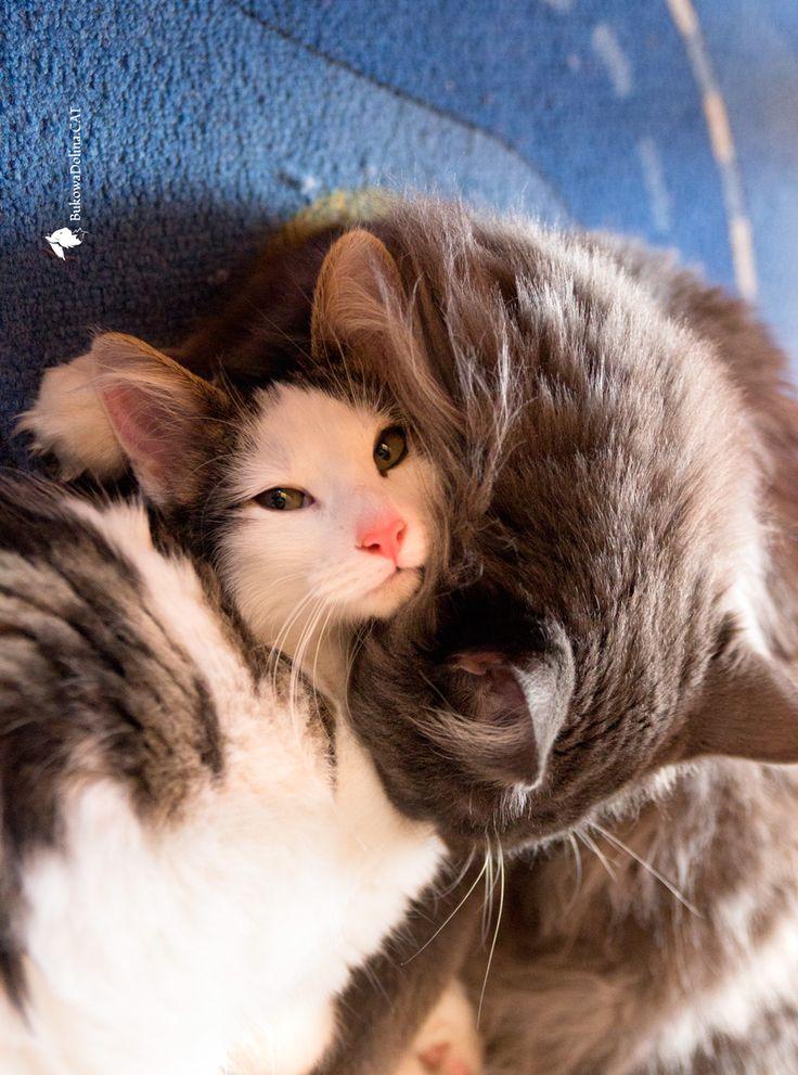 Cattery BukowaDolina*PL ( Norwegian Forest Cats ) http://bukowadolina.cat/