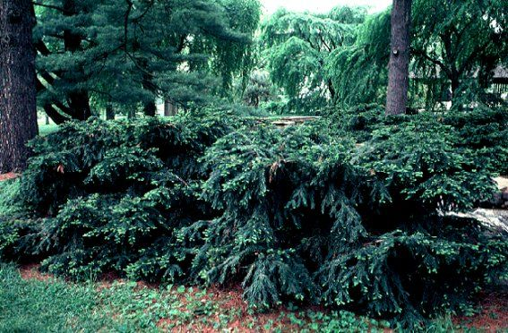 Taxus Baccata Repandens Weeping English Yew Love This