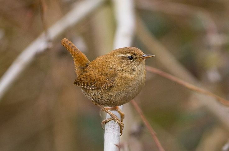 Listen to Wren on british-birdsongs.uk, which is a comprehensive collection of English bird songs and bird calls.