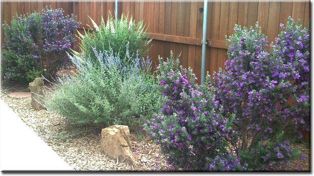 Texas Sage, Russian Sage, Mexican Feather Grass, Butterfly Bushes and mulch. Great combo for a hot, dry area of the garden!