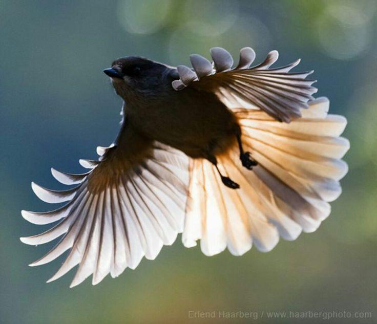 Siberian Jay (perisoreus infaustus) // Erlend Haarberg