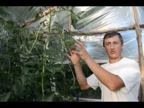 Формировка высокорослых и среднерослых томатов. Дельные советы