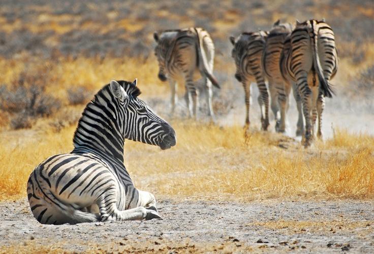 Galleries ORYX Photography Zebras, African animals