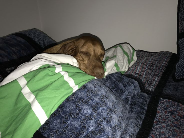 End of a Vizsla day - just a bit tired and ready for bed.  Vyzby loves her doona.