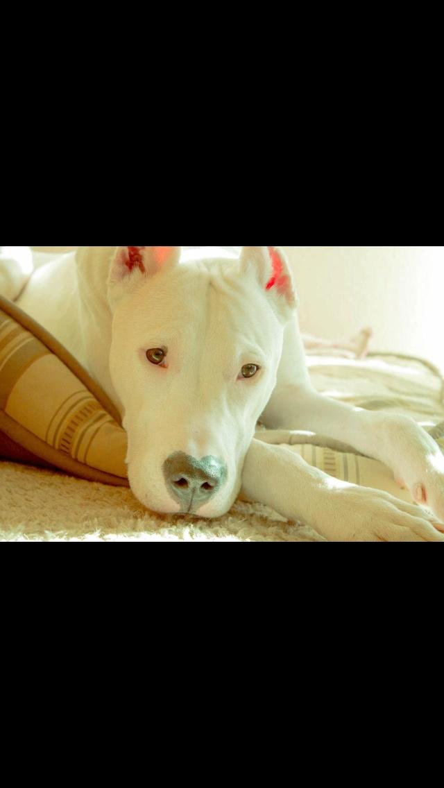 Great Dogo Chubby Adorable Dog - f007b9bd028f8a7e9f00caec3ed7b87b--dog-argentino-future-baby  Photograph_773286  .jpg