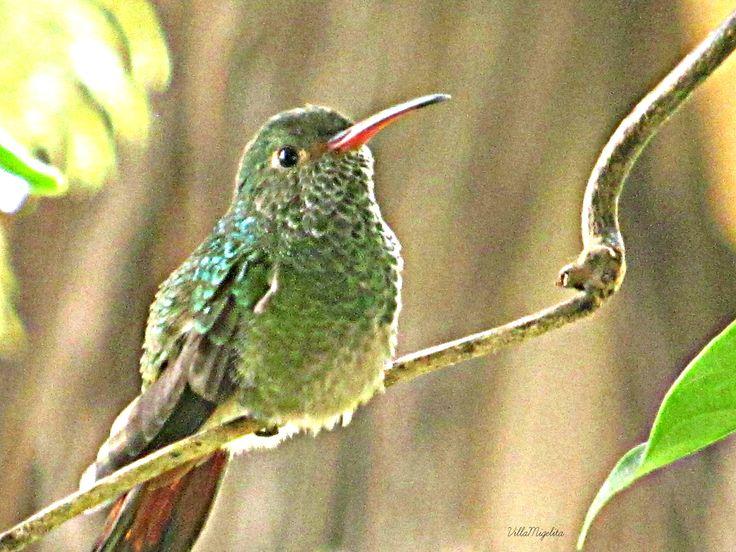 One hummingbird resting