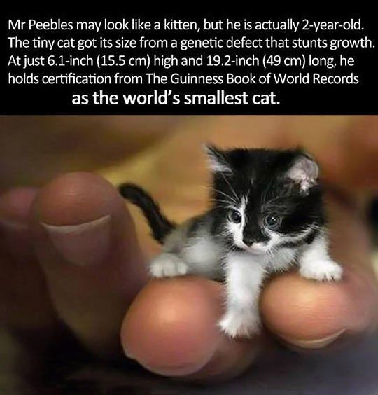 smallest cat in the world cat fun pinterest cat animal and baby animals - Smallest Cat In The World Guinness 2015