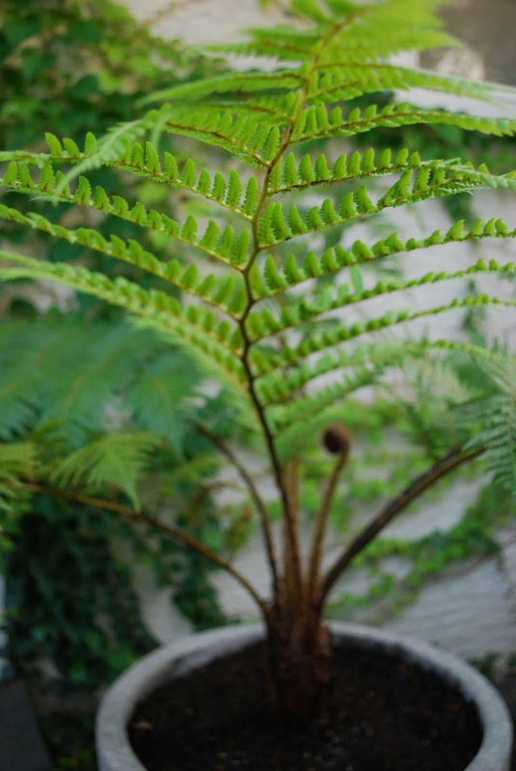"Australian Tree Fern (Cyathea cooperi 'Brentwood') Need something lush to fill that empty spot? Here's your answer. This fern's formidable stature and upward-arching fronds say, ""Look at me."" It's a great choice for sunrooms and foyers.  Keys to success: This guy loves regular moisture and won't forgive you if you forget. Bright light is a must, but if the frond edges start to brown, find a shadier spot. Mist the trunk and fronds frequently."