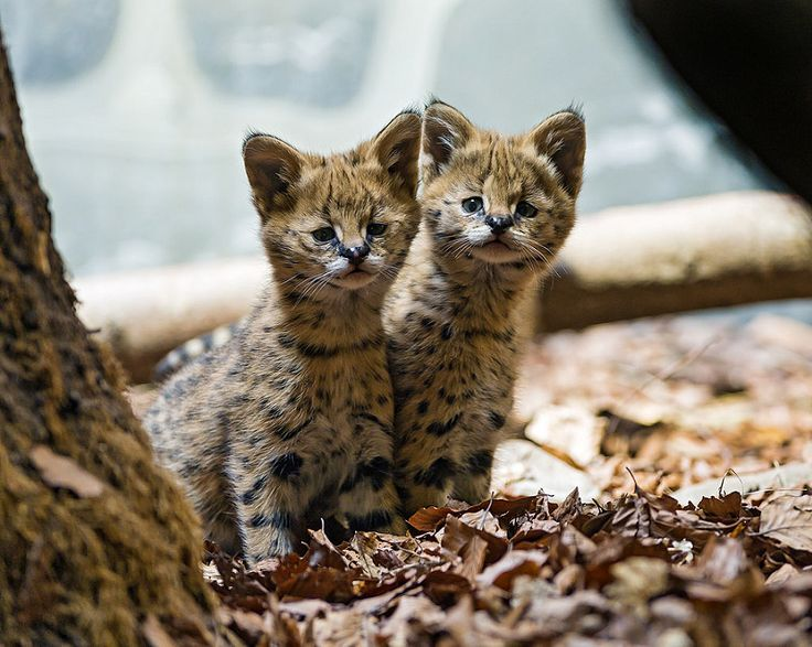 Two cute serval babies