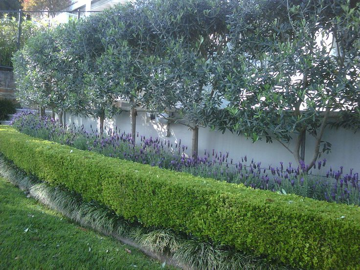 Planting for privacy-pleached olive trees is another take on hedge in the air. The lavender & boxwood add interest as underplanting