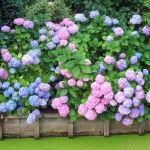 Het Geheim Van Blauwe Hortensias