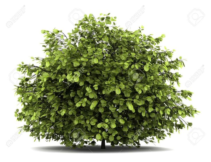 pin  gmazz  bushes shrubs  plants plants