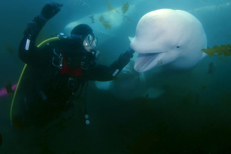 281 best images about BELUGA WhALES on Pinterest