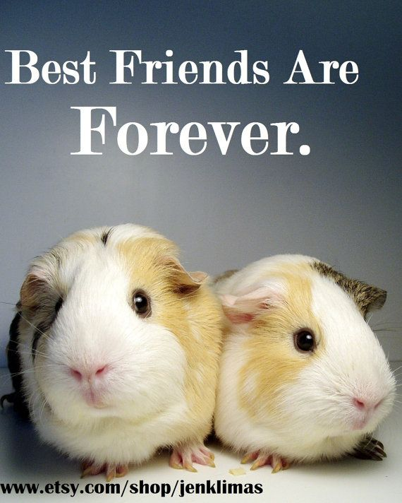 1000+ Guinea Pig Quotes On Pinterest