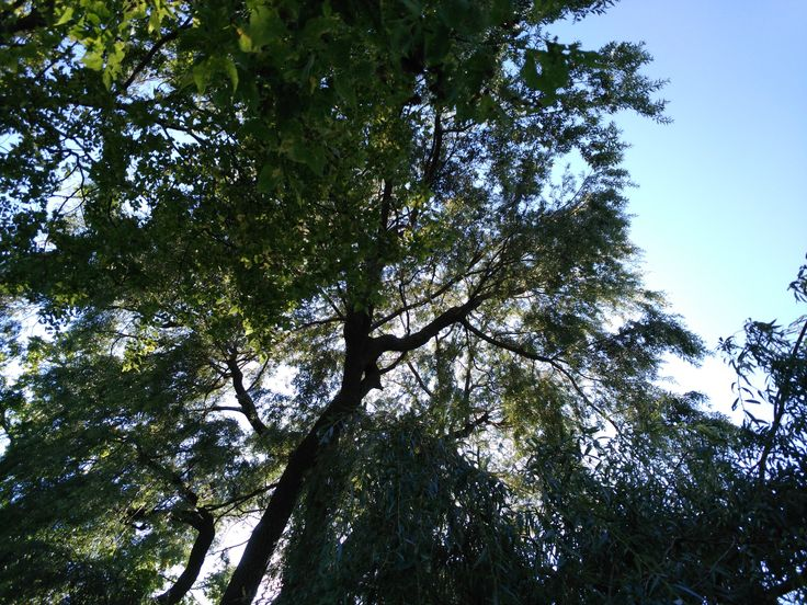 One of the magestic weeping willow trees (salix babylonica) at Ruthven Park National Historic Site.